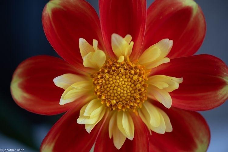 Dahila - smile, dahlia, flower, floral - jonkahn | ello