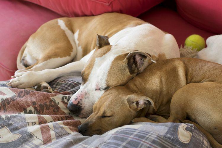 peace / paz - relax, dogs, amstaf - natxodiego | ello