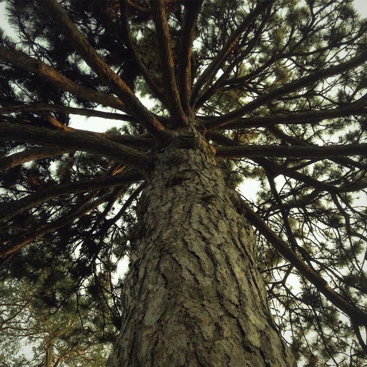 Scots Pine - photo, nature, botany - dispel | ello