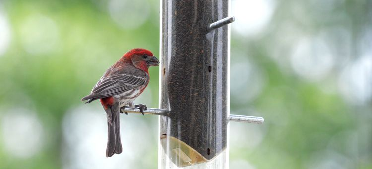 House Finch (Illinois, 2016 - bigcomposer | ello