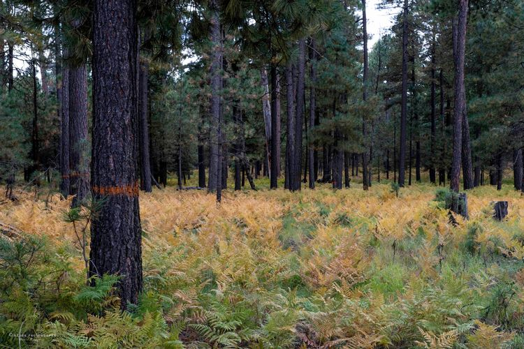Forest Ferns, 2019 fall color r - azdrk   ello