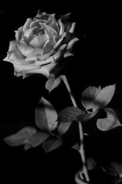 Rose, Flower - taari | ello