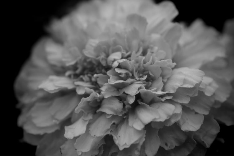 Tagetes - flower, bw - taari | ello