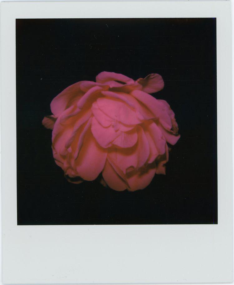 White Rose, red filter, 2019 SX - thedouglasfur | ello
