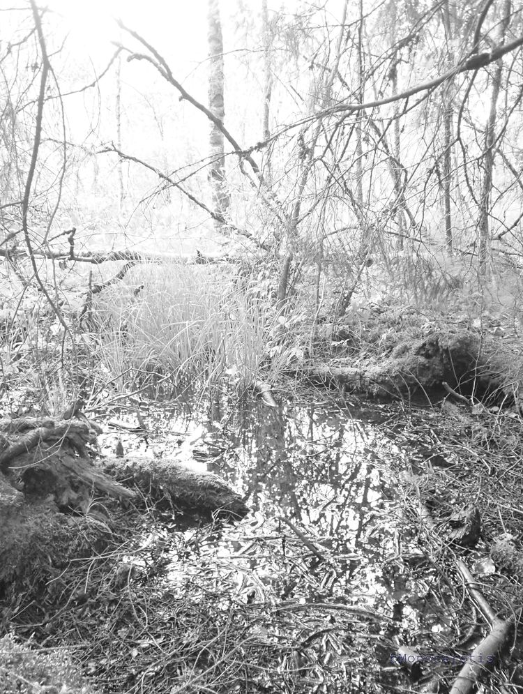 insubstantial - wetland, swamp, landscape - bmonocerotis | ello