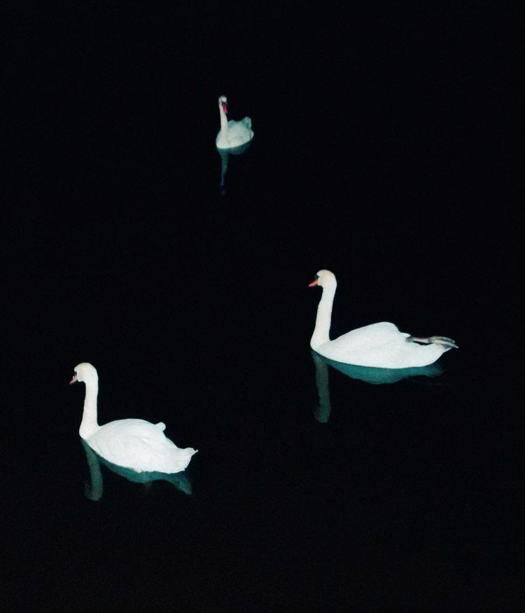 Swans | Instagram - andrei_grigorev - andreigrigorev | ello