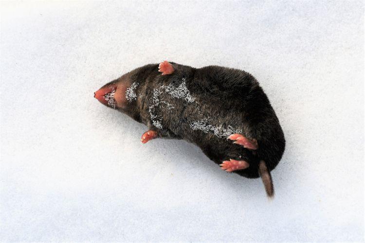 Vole field mouse - winterhiking - boomhood | ello