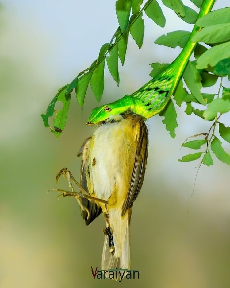 green snake eating leaf warbler - varaiyan | ello