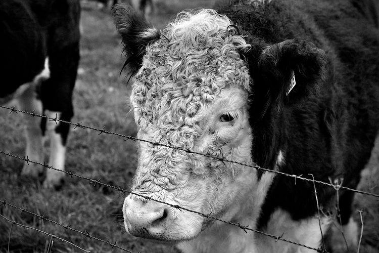 Bullock 2 - animalphotography, foodphotography - dorian-stretton   ello