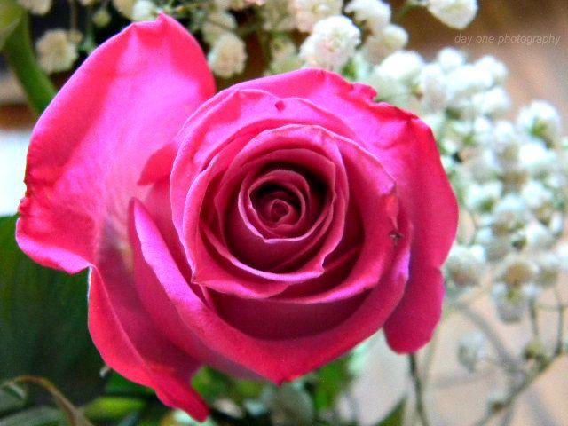 Valentines rose. Photo - FredaMans - fredasvoice | ello