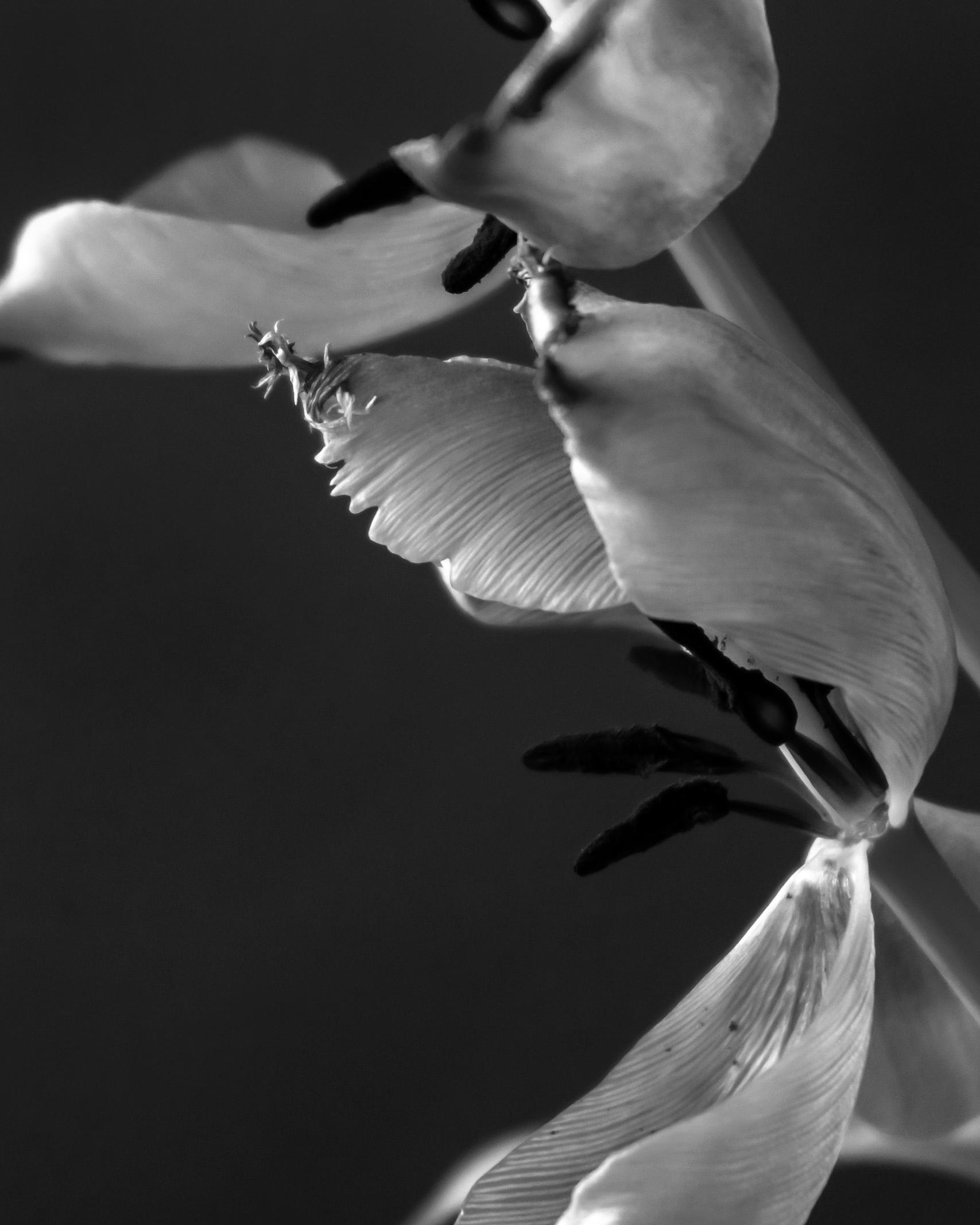 Tulip Phases - andimcleish | ello
