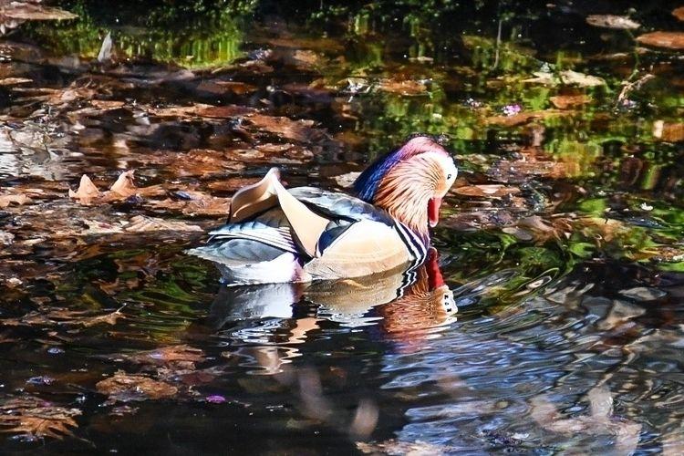 Mandarin Duck - casperkeller | ello