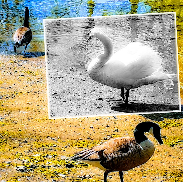 Swan strutting shore pond Brook - banubianlife | ello