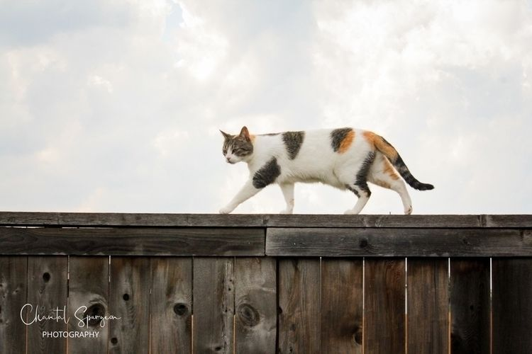 Neighborhood cat visit - calicocat - gothicbutterfly | ello
