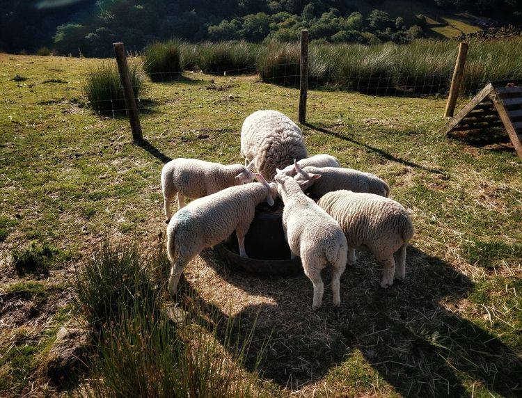 sheep, circle, countryside, nature - omtanke | ello