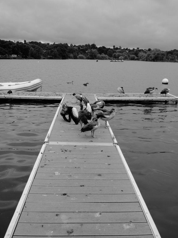 Preening ducks lake Wimbledon P - skazman | ello