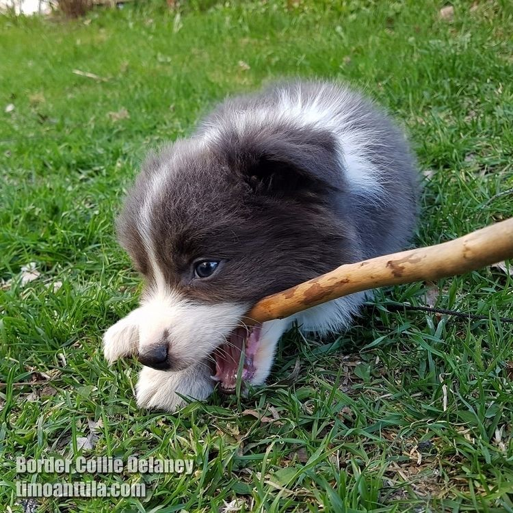 young border collie puppy. dogs - timoanttila | ello