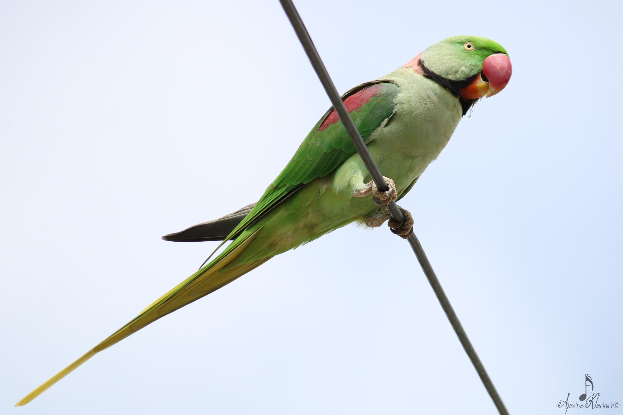 Window birding 4: Alexandrine p - apps11 | ello