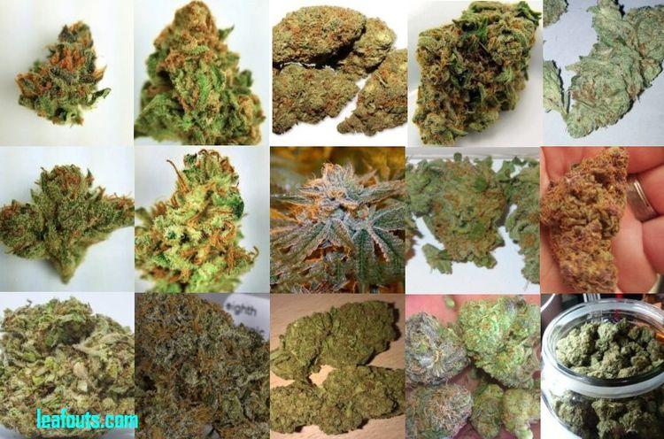Medical Marijuana - Clinical Ma - leafouts | ello