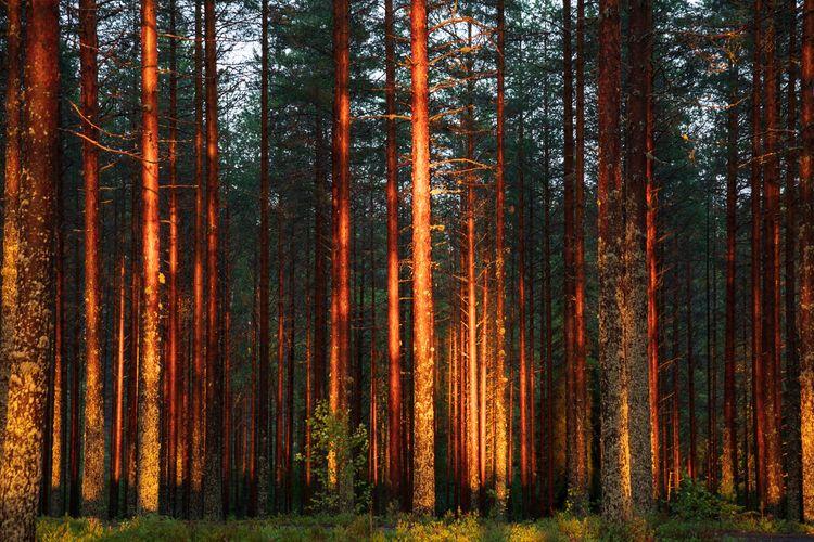 Pine forest - landscape, outdoor - anttitassberg | ello