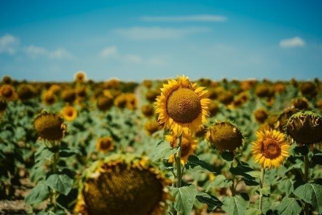 Summertime. Sunflower field - sony - mikericciphoto | ello