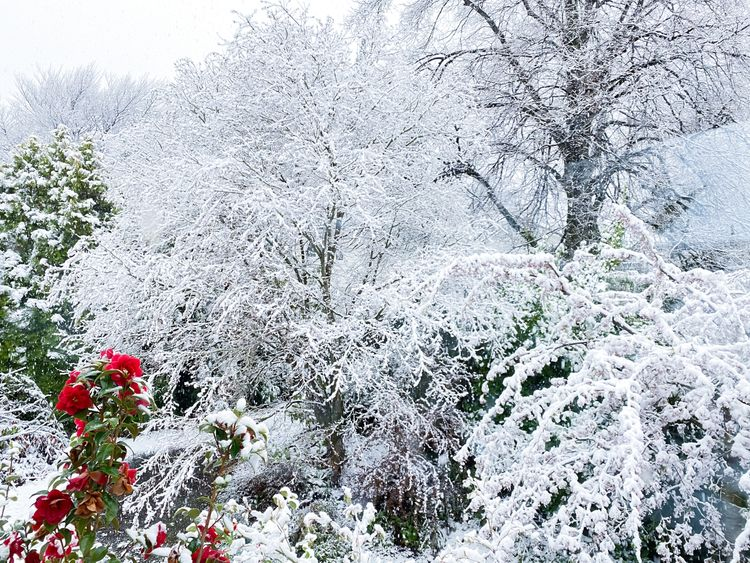 Spring Snow  - snow, flowers, springsnow - fenrizwolfe   ello