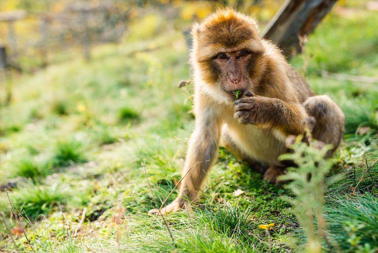 Barbary macaque Erfurt, Oct/202 - youfeelme | ello