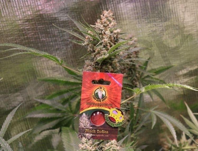 Check Black Indica - cropkingseeds | ello