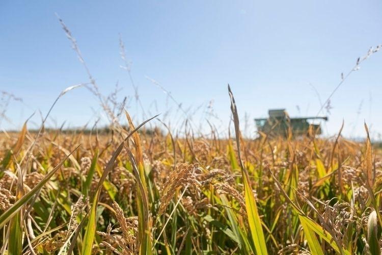 Rice Harvest Valencia 2020 - rice - mikewater   ello