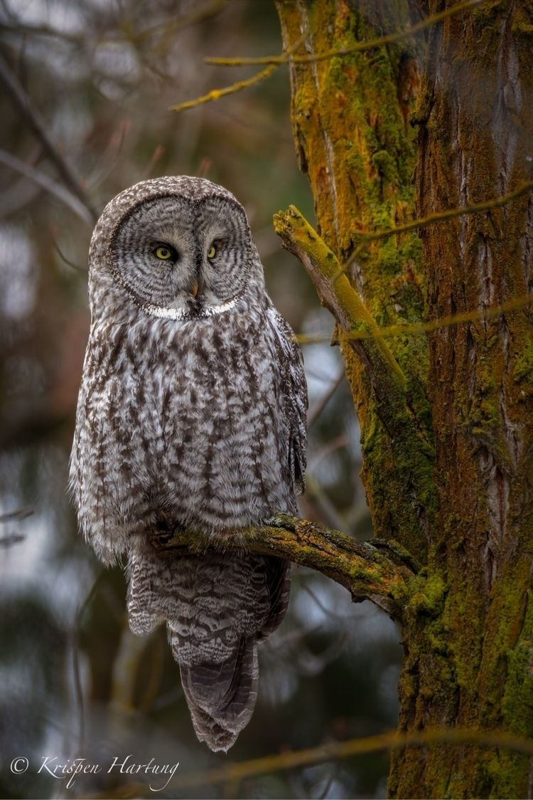 Great Grey Owl - krispen_hartung_photography | ello