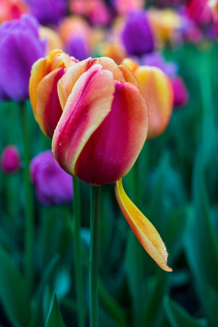 Spring head - flower#tulips#colors#ellophotography#fredericchais@studiophotophore - studiophotophoremtl | ello