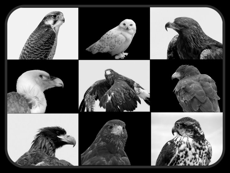 Story Birds Prey fascinated bir - ladymaja | ello
