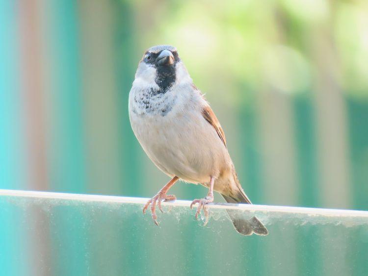 Pardal/House Sparrow Passer dom - patricianicoloso | ello