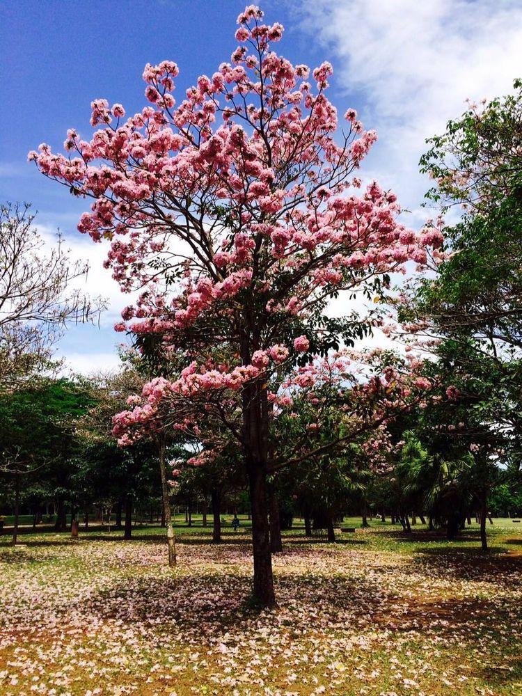 Ipê-rosa em foto site Áreas Ver - antoniomg   ello