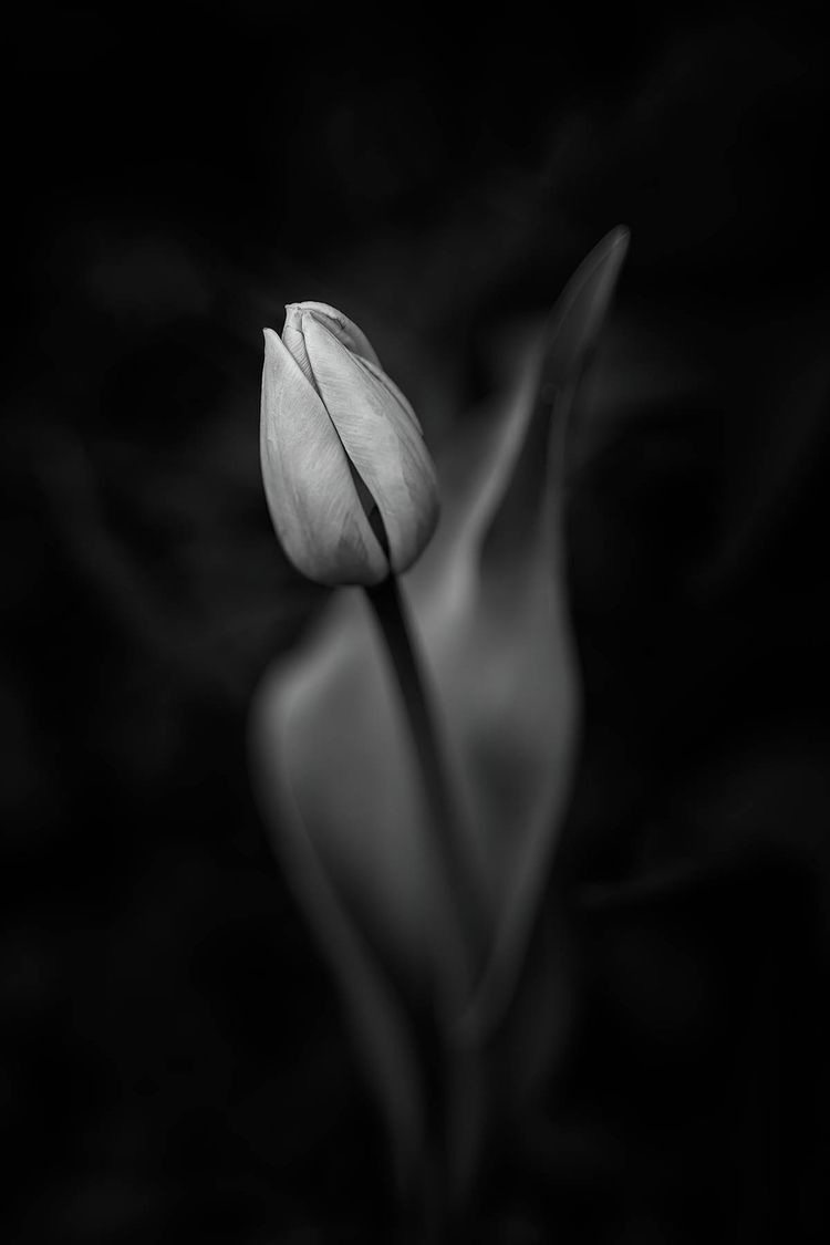 Tulip living sunshine, freedom - scottnorrisphotography | ello