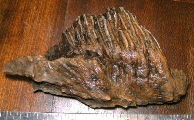 Mammuthus Columbi specimens pho - sucramlednarb | ello