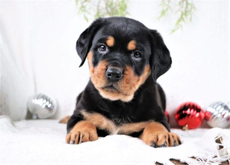 Rottweiler Puppies Buying - buy - ridgelinerottweiler   ello