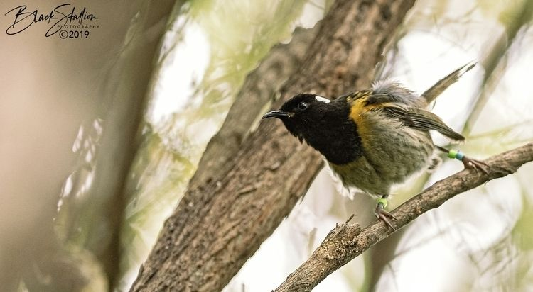 Stitchbird (Hihi) poised NZ - igallopfree | ello