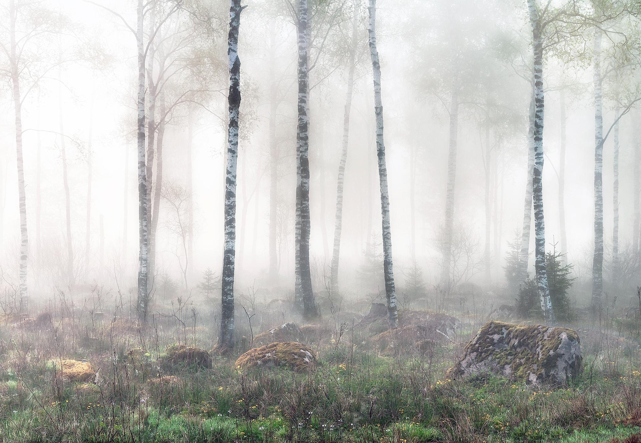 magical birch forest - nature, mist - lenasanver   ello
