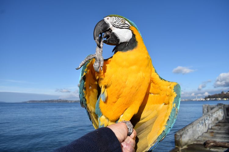 High Blue Gold Macaw Aboo posin - michaelostrogorsky | ello