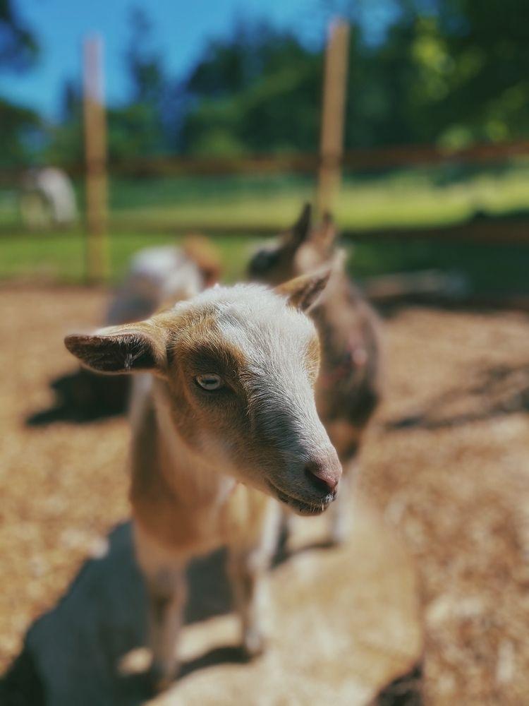 Goat Time - farmlife - minnley | ello