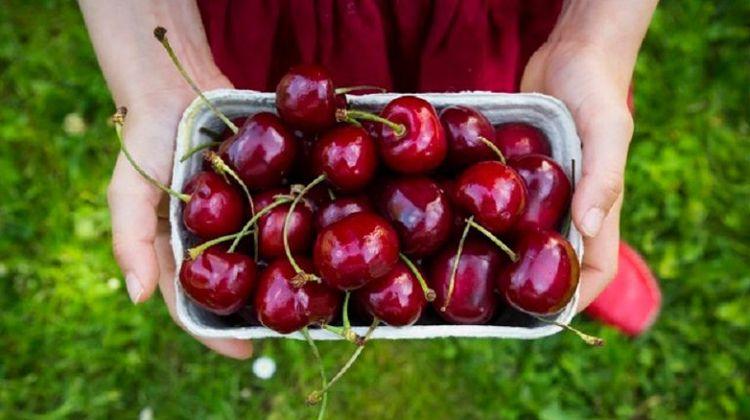 Cherry Mỹ Không phải ngẫu nhiên - vuonmattroi   ello