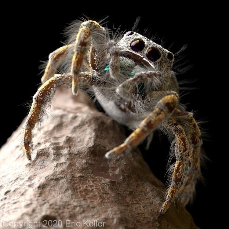 jumping spider (female Phiddipu - erickeller   ello