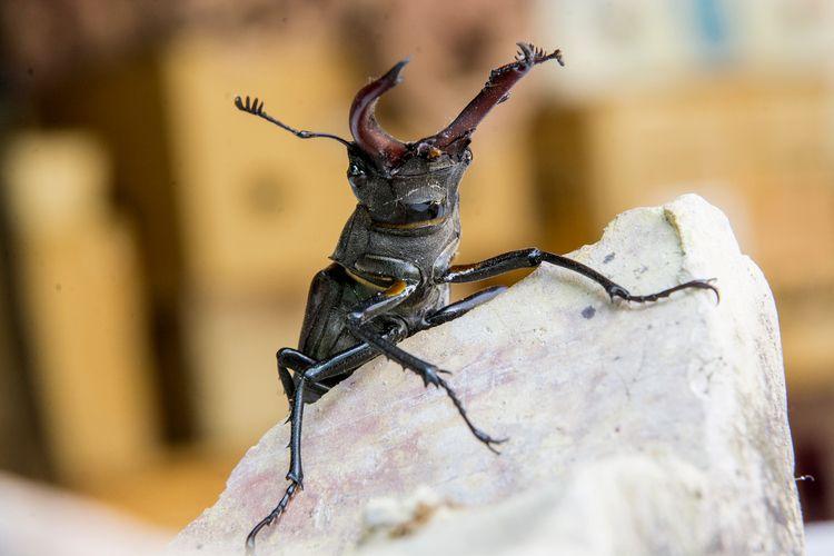 Samurai-beetle - offpeter | ello