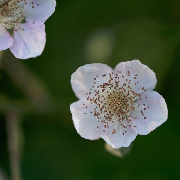 Contained - photography, macro, blossom - marcushammerschmitt   ello