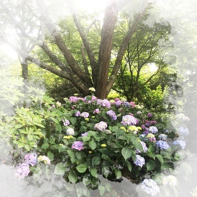 Hydrangea Rhs Wisley - paulgriffiths   ello