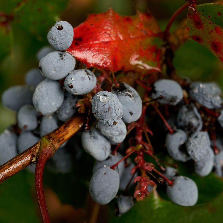 Sangfroid - photography, fall, berries - marcushammerschmitt   ello