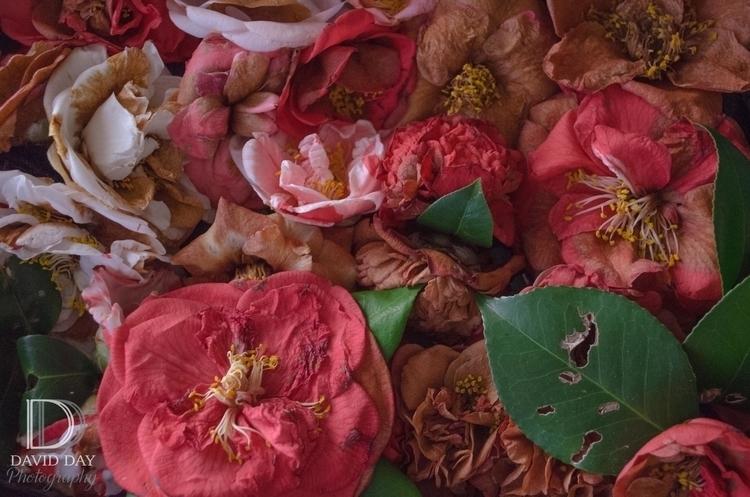 Beautiful Decay Camellias-0003.jpg