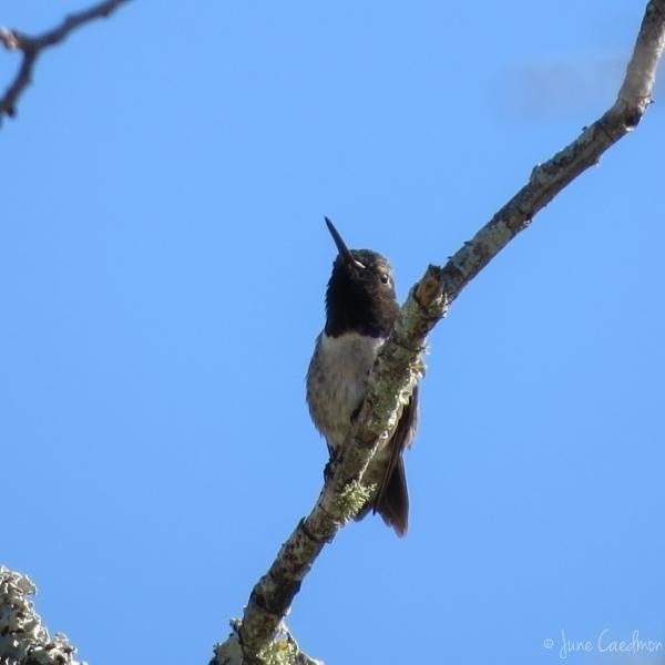 Black-chinned_Hummingbird.jpg