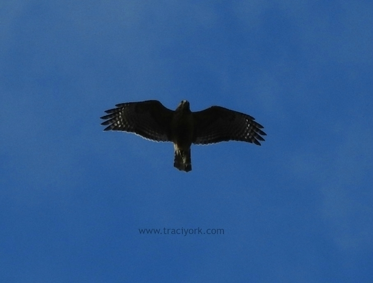 Hawk overhead, watermarked.jpg